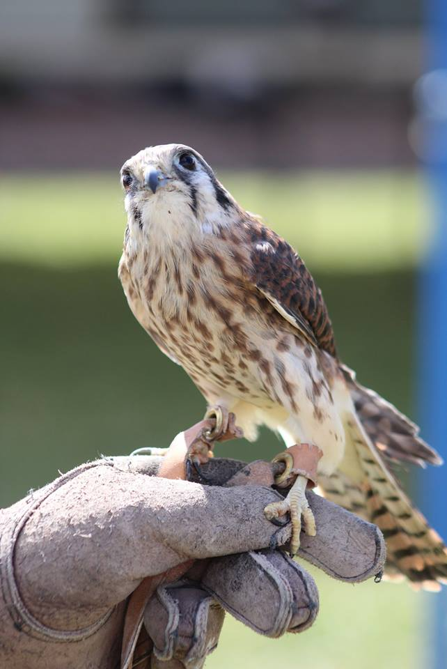 American Kestral Picture