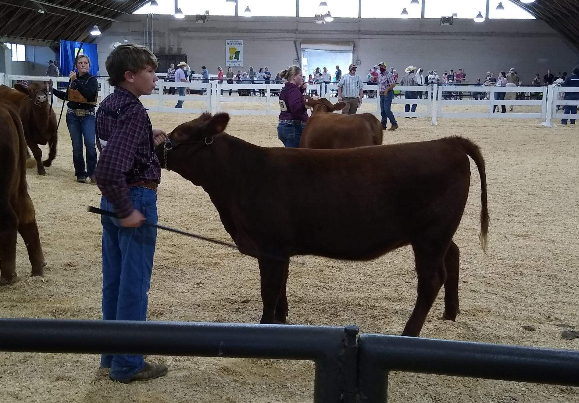 showing cattle at MS State Fair