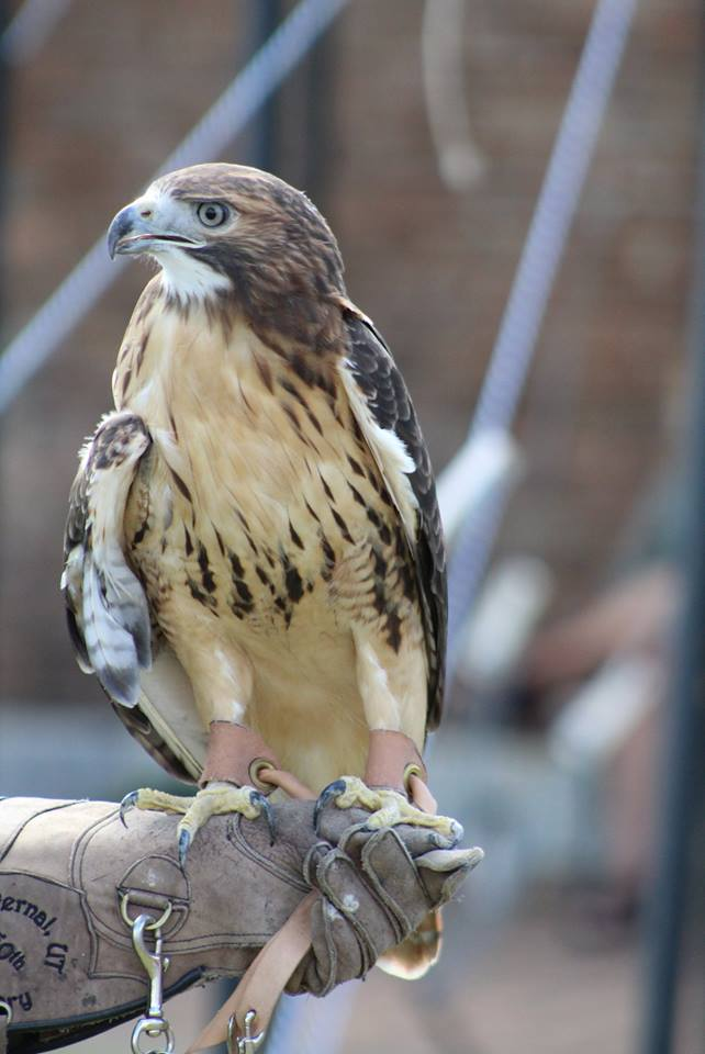 Ret-tailed Hawk Picture