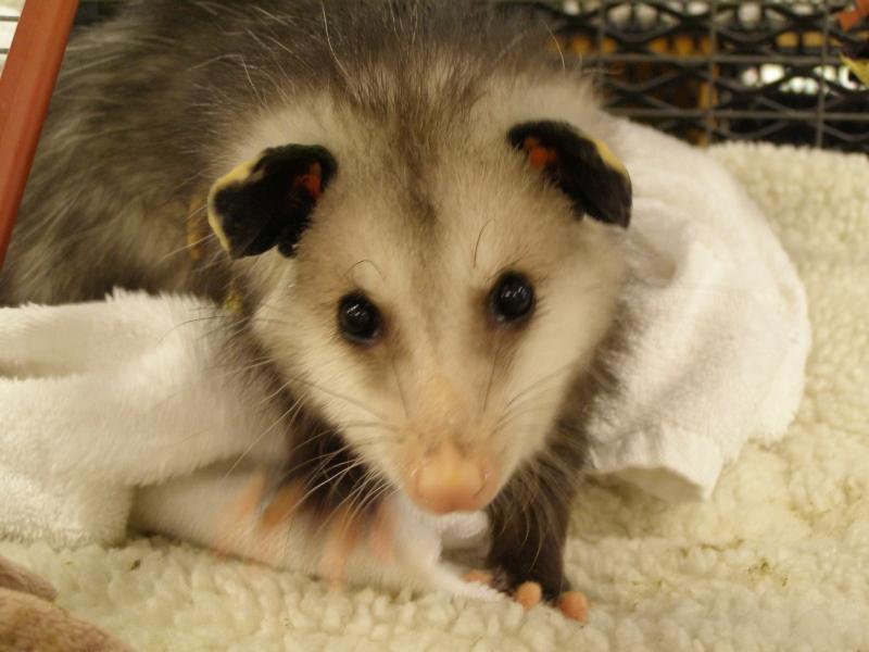 Opossum Picture