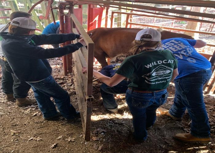 Animal Science Help Injured Calf