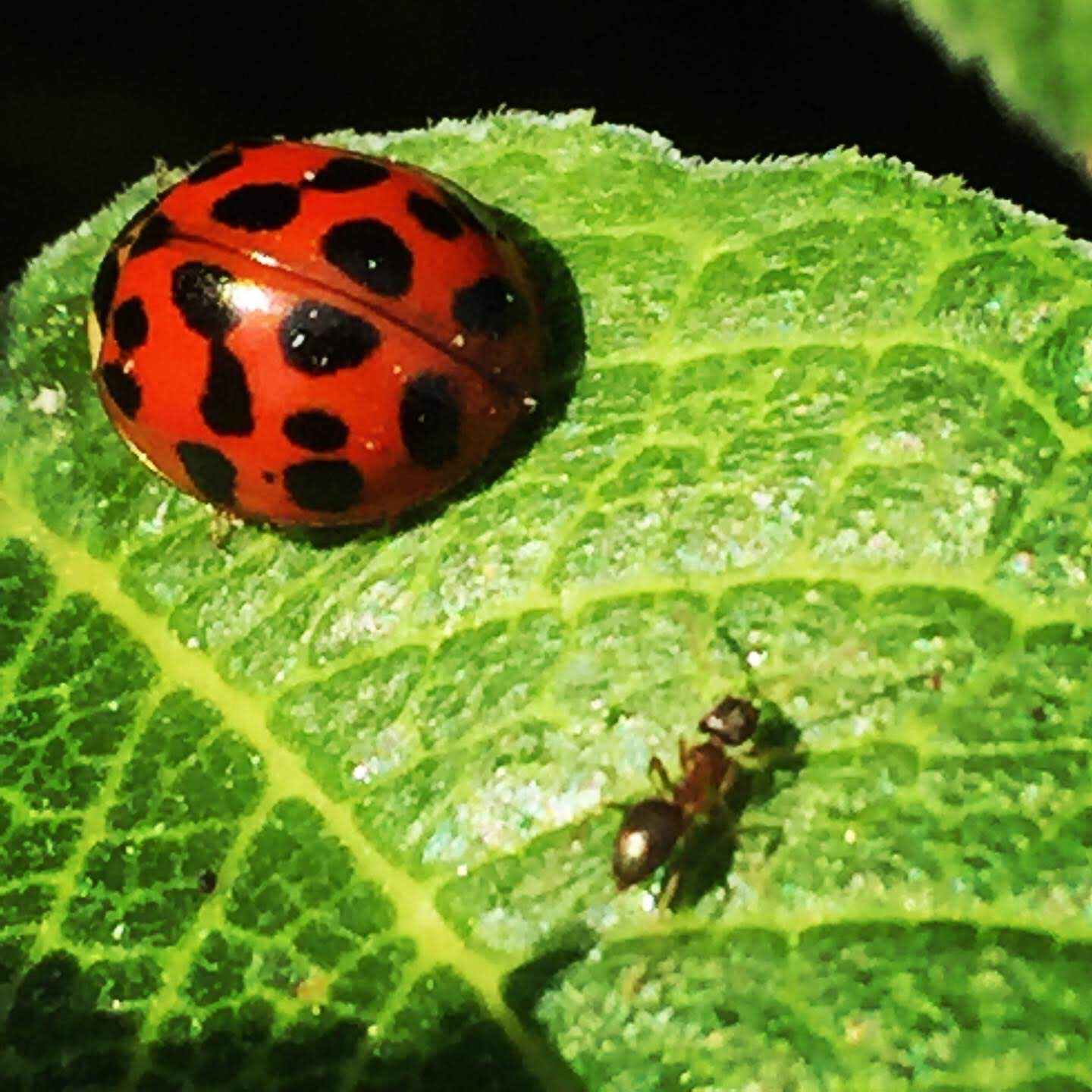 Ladybug and friend