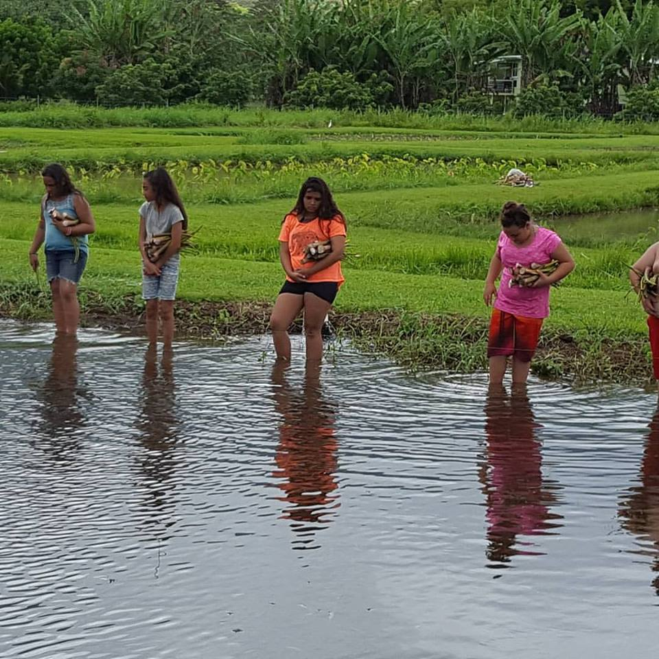 Planting Kalo