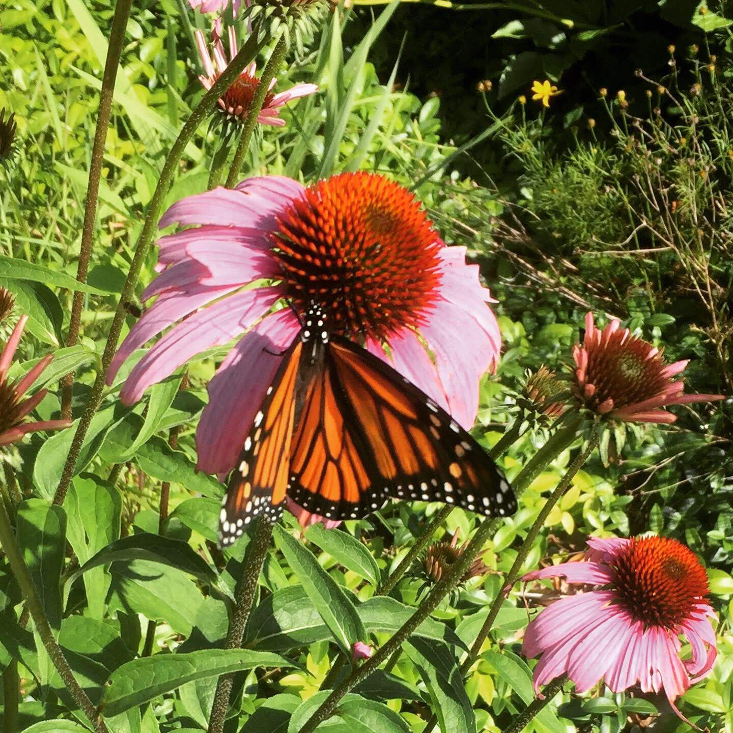 Monarch on cone flower