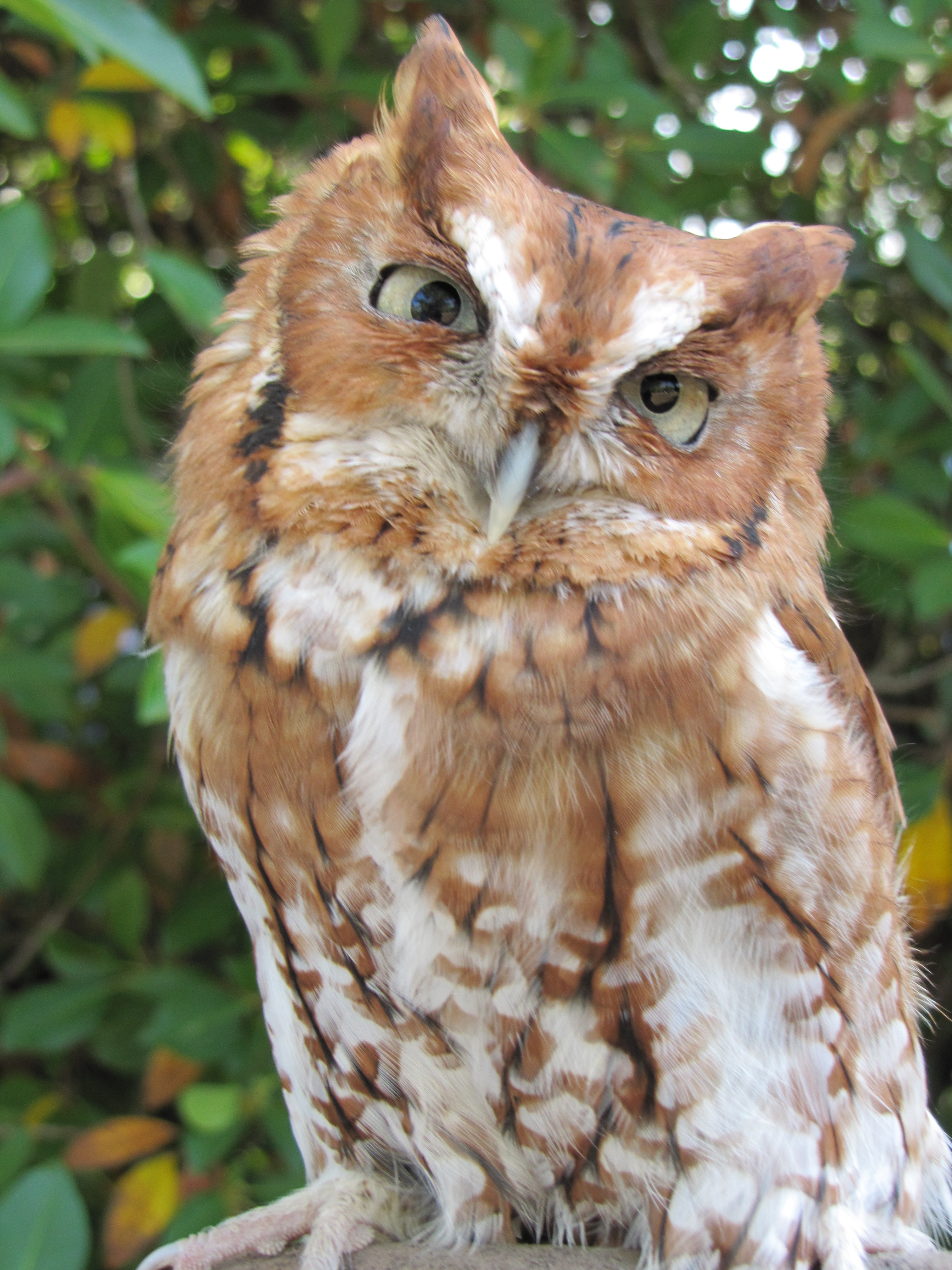 Screech Owl Picture