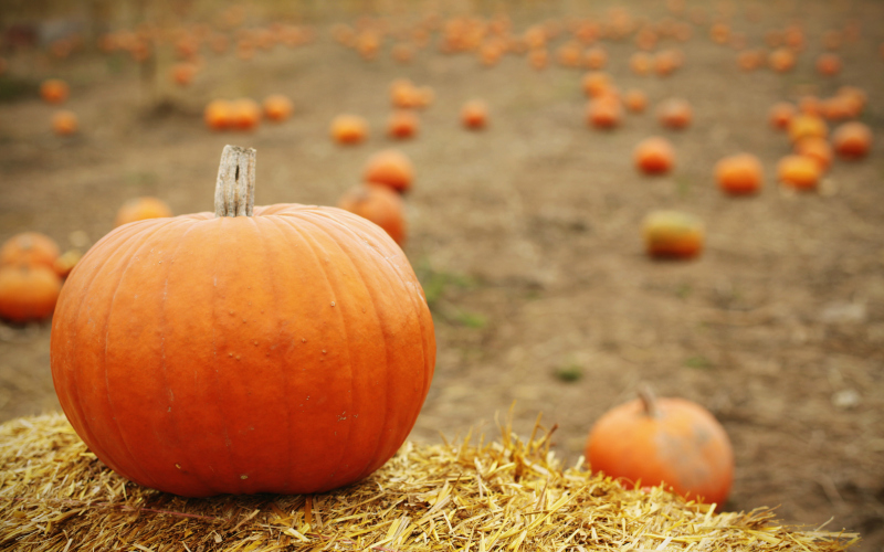 picture of pumpkin patch