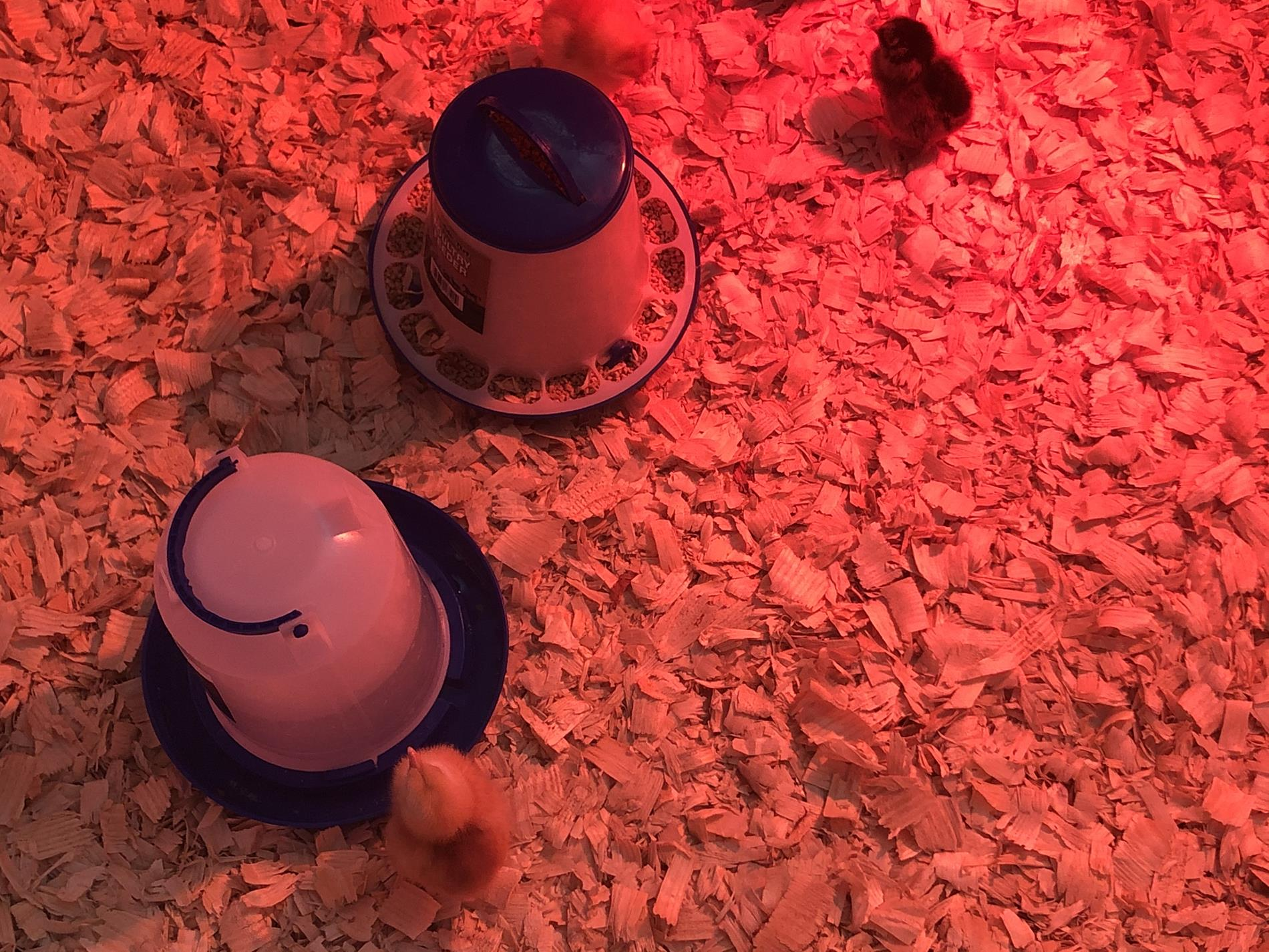 Taking Care of Baby Chicks In a Red Lit Up Area. There Was a Baby Chick Drinking Water