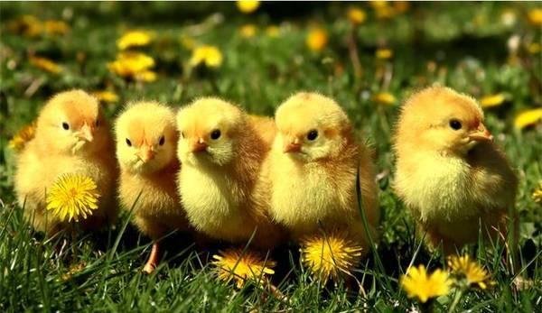 Virtual Chick Project
