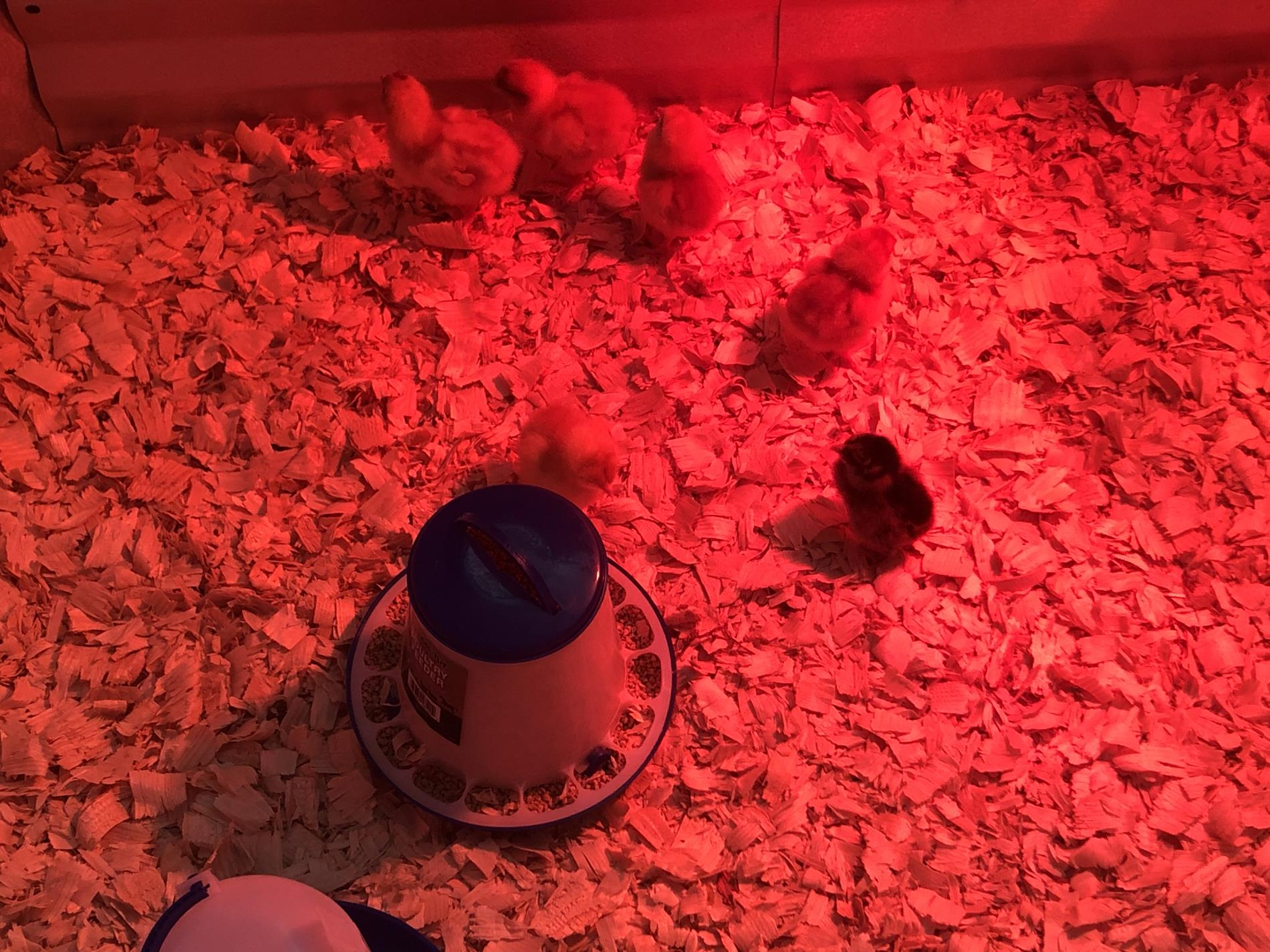 Taking Care of Baby Chicks In a Red Lit Up Area