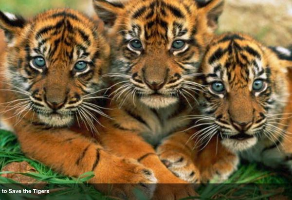 3 Baby Tigers