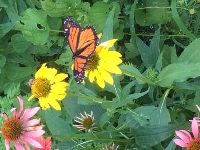 Monarch Butterfly in the ADS butterfly garden