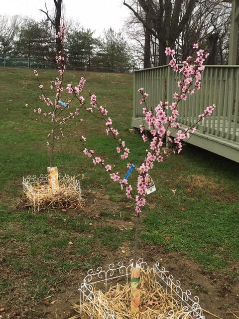 ADS Peach Trees in Bloom