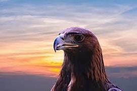Staring Eagle